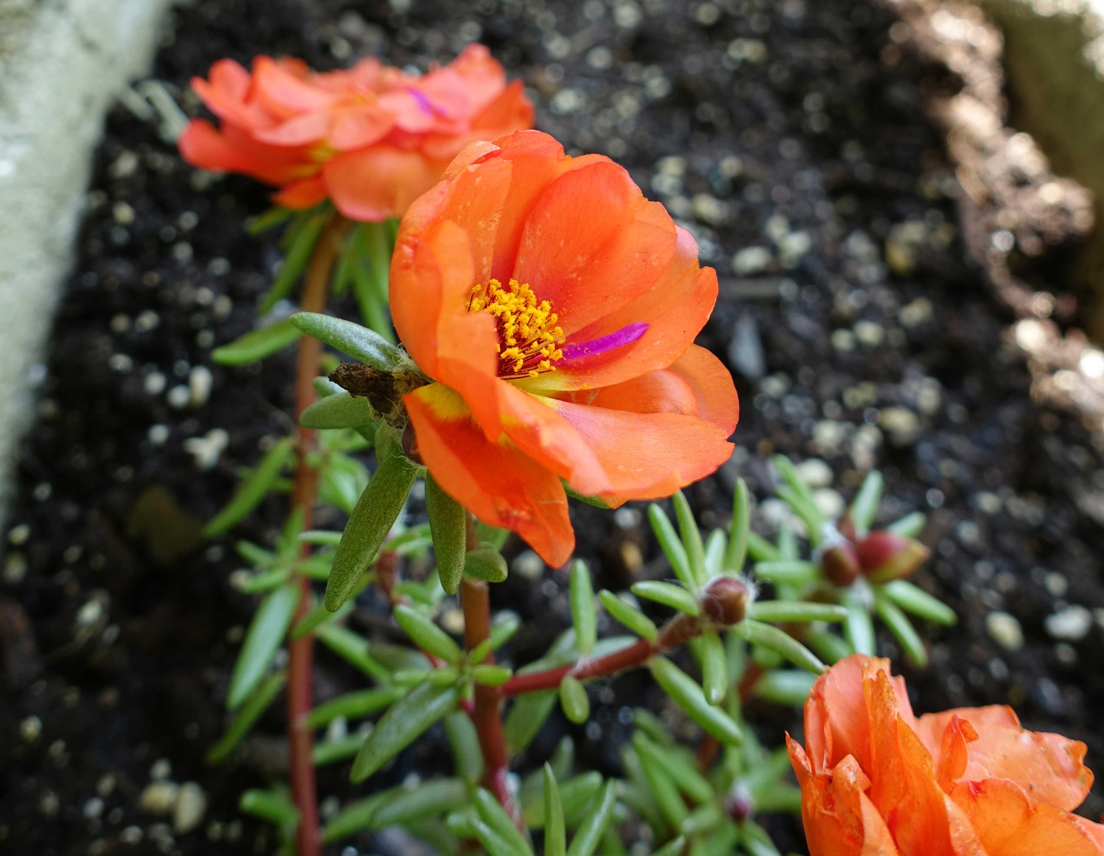 Orange Moss Roses